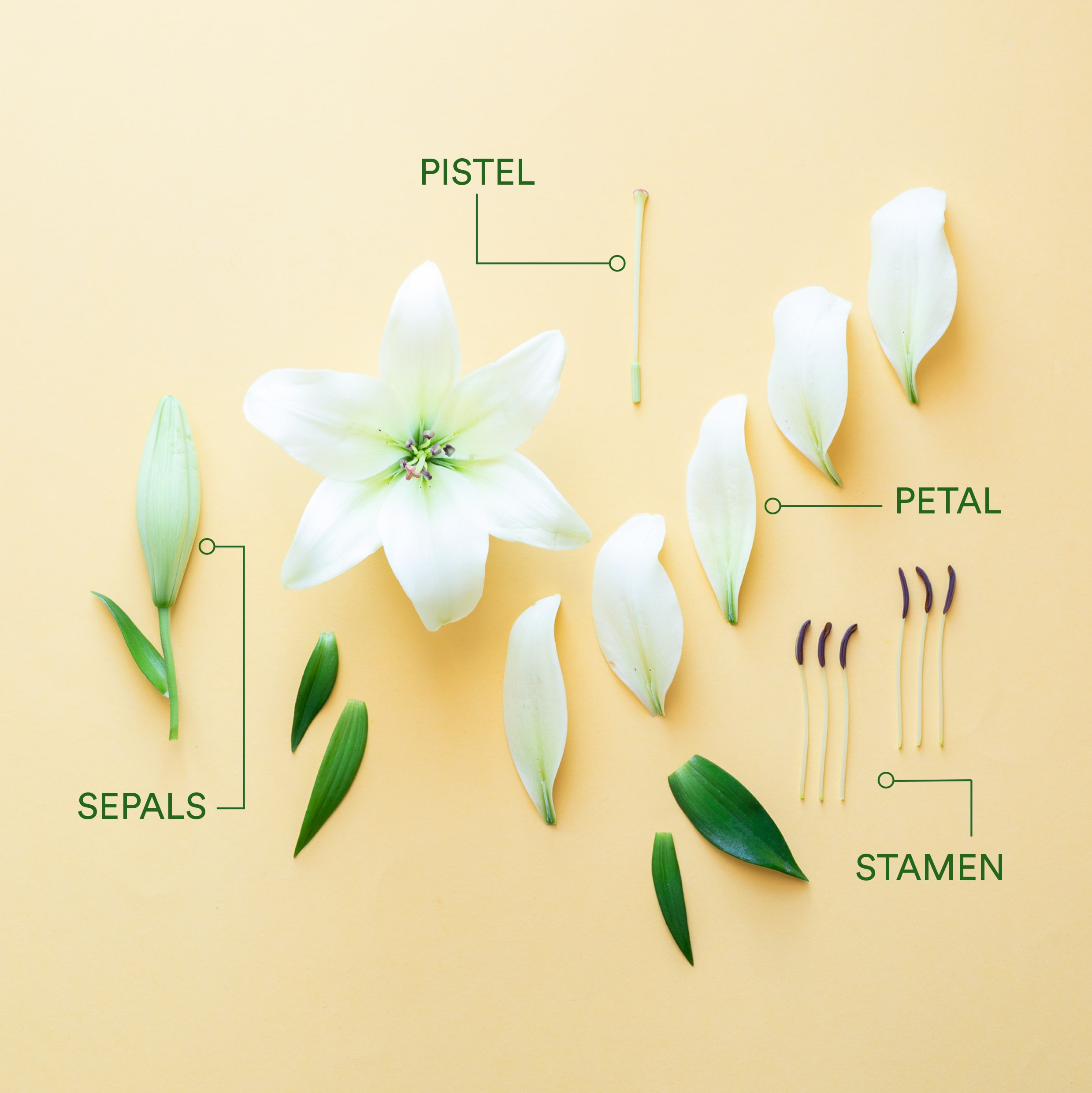 Parts Of A Flower Diagram How To Identify The Main Parts Of A Flower Flower Anatomy