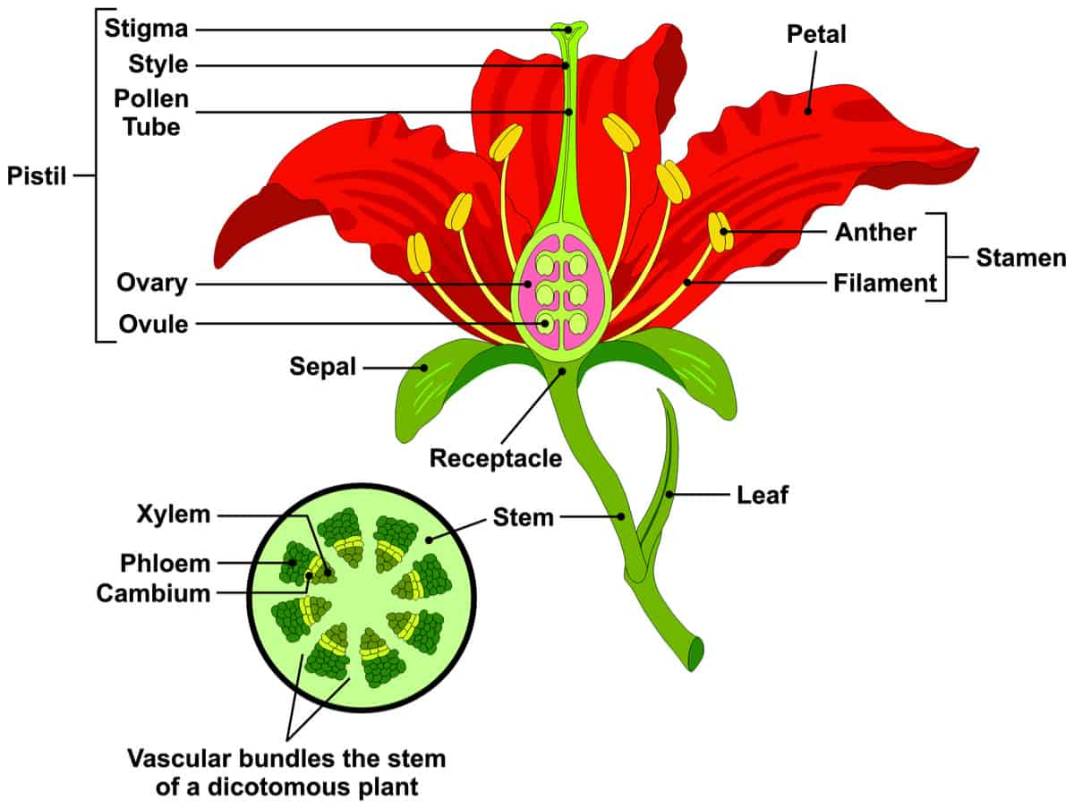 Parts Of A Flower Diagram Parts Of A Flower And Plant Do You Know Them All 7 Diagrams