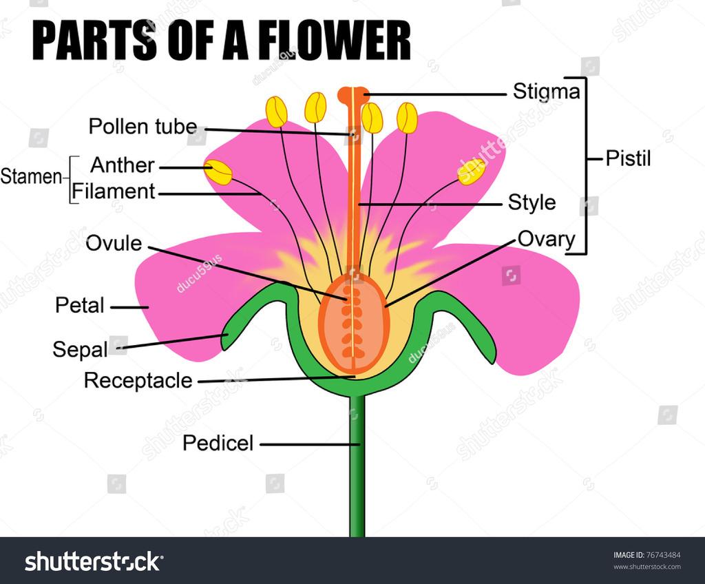 Parts Of A Flower Diagram Parts Of A Flower Diagram Quizlet