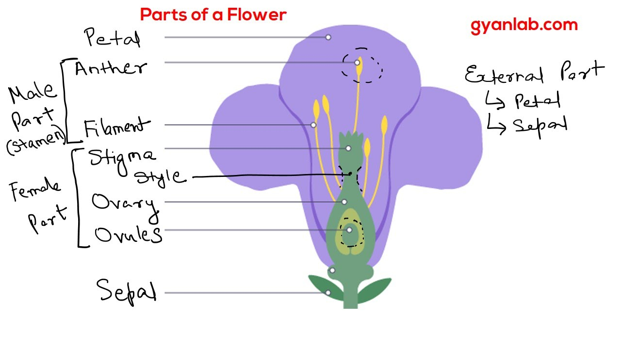 Parts Of A Flower Diagram Parts Of A Flower