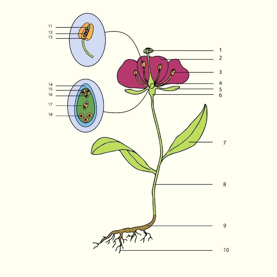 Parts Of A Flower Diagram Plant Parts Diagram Parts Of A Flower Diagram Flower Parts Flower