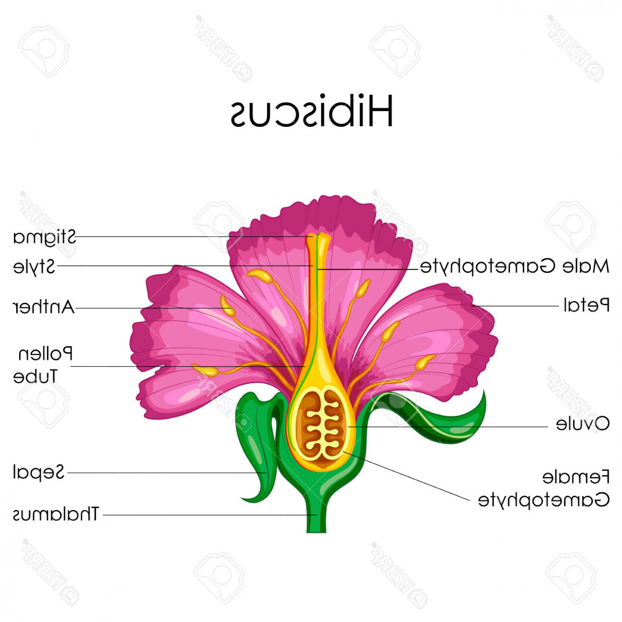 Parts Of A Flower Diagram The Gallery For Hibiscus Flower Diagram Anatomy Flower