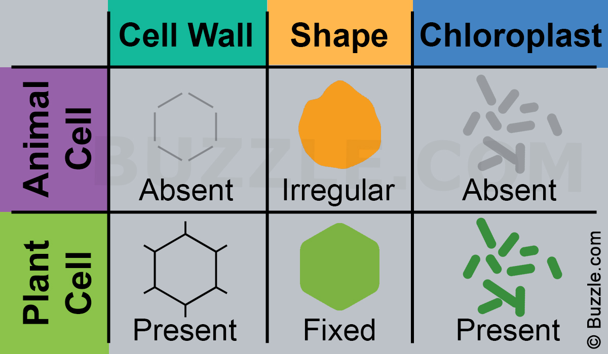 Plant And Animal Cell Diagram A Brief Comparison Of Plant Cell Vs Animal Cell
