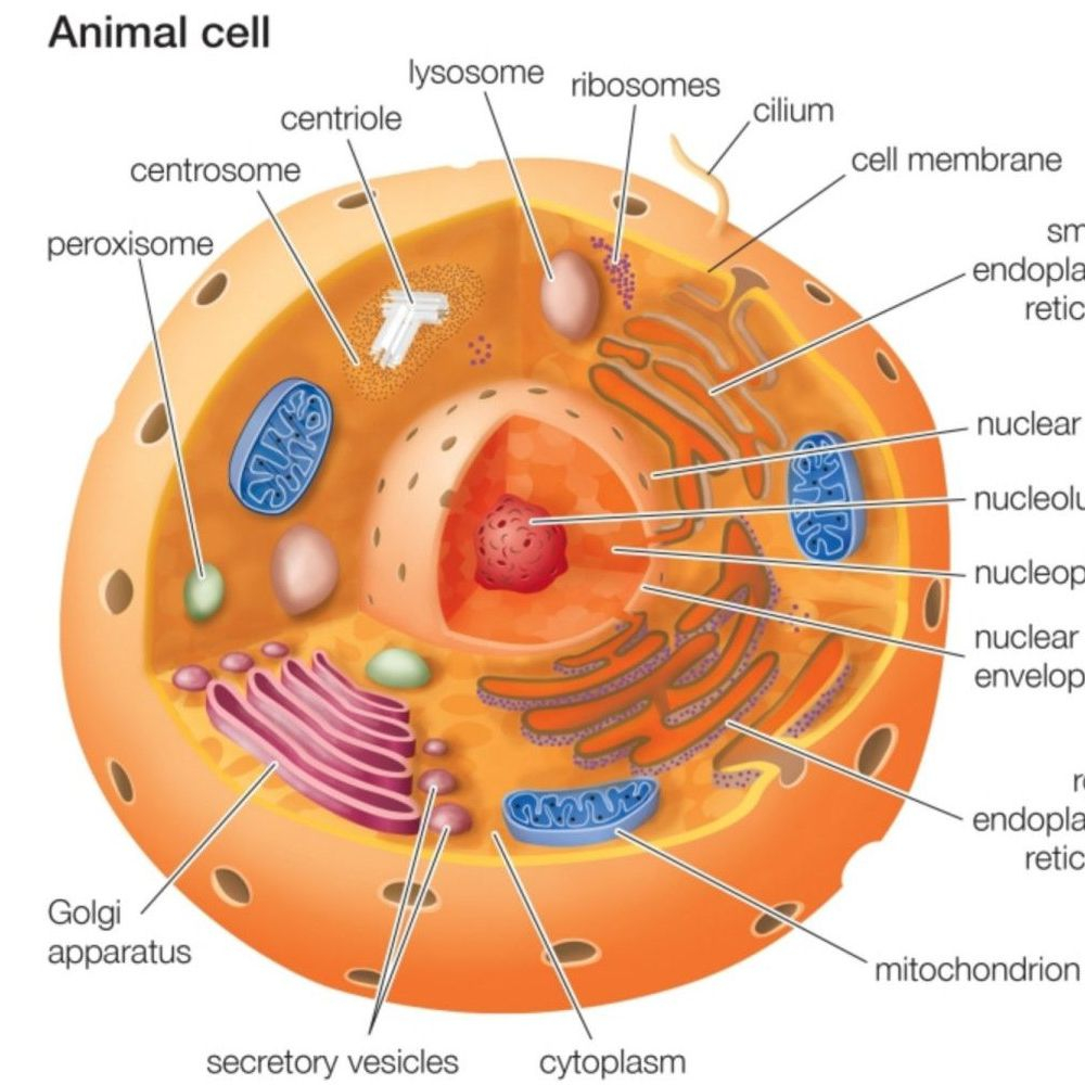 Plant And Animal Cell Diagram Animal Cells And The Membrane Bound Nucleus