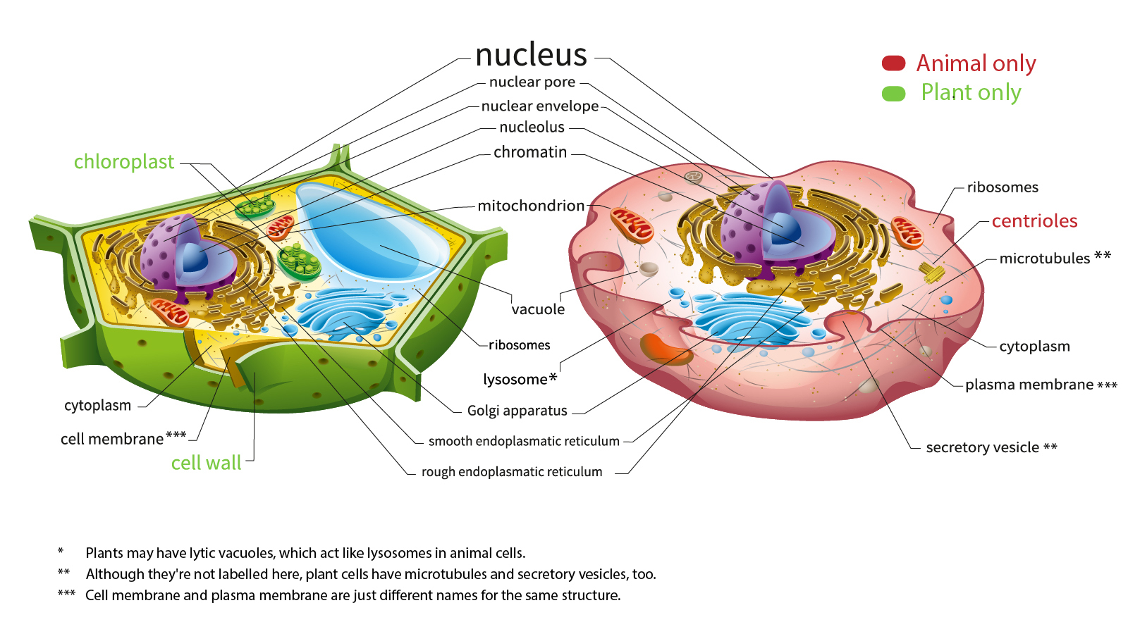 Plant And Animal Cell Diagram Heres How Plant And Animal Cells Are Different Howstuffworks