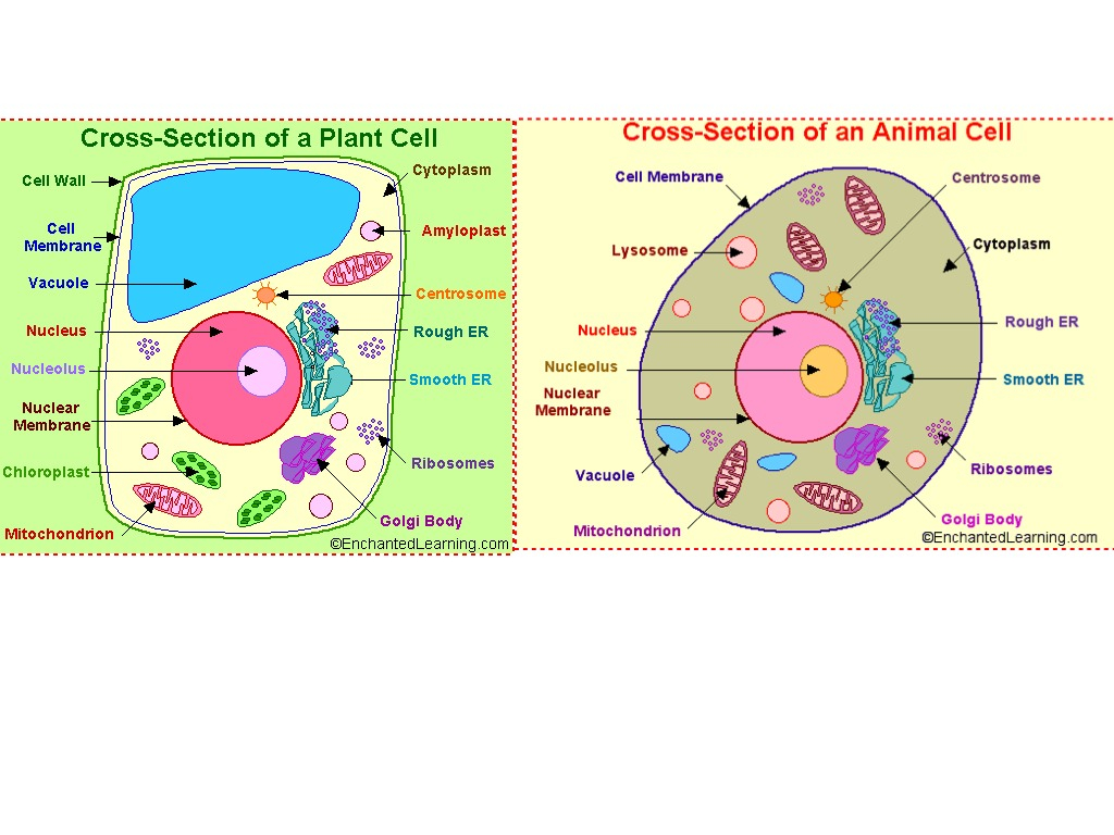 Plant And Animal Cell Diagram Plant Cell And Animal Cell Showme