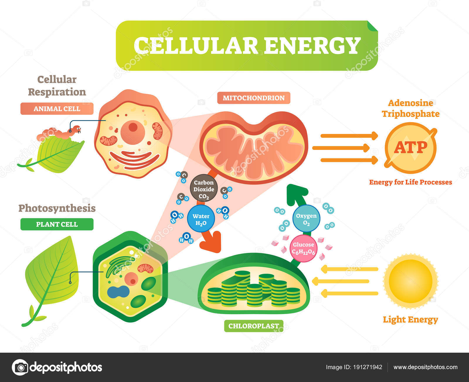 Plant Cell Diagram Animal And Plant Cell Energy Cycle Vector Illustration Diagram With