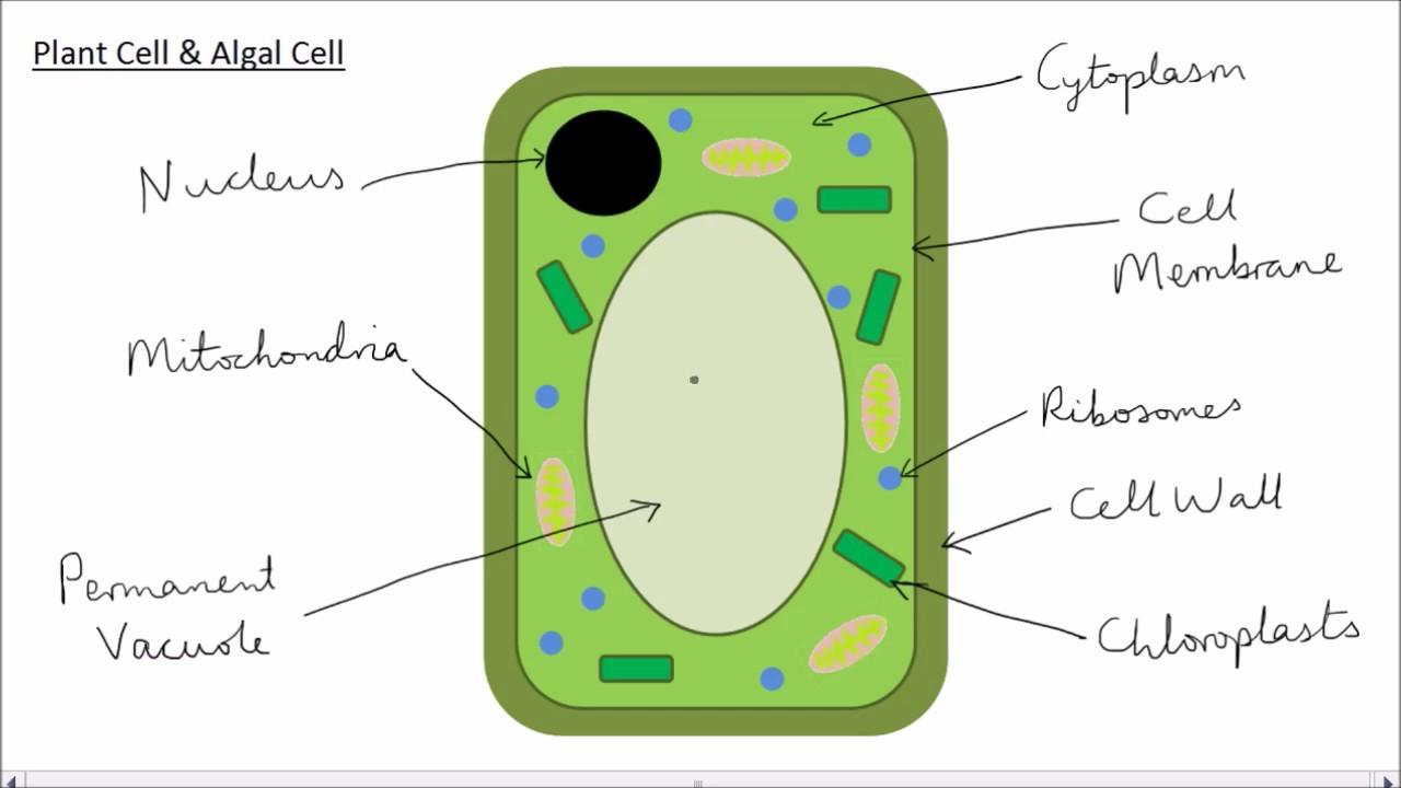 Plant Cell Diagram Animal Plant Cells Gcse Science Biology Get To Know Science