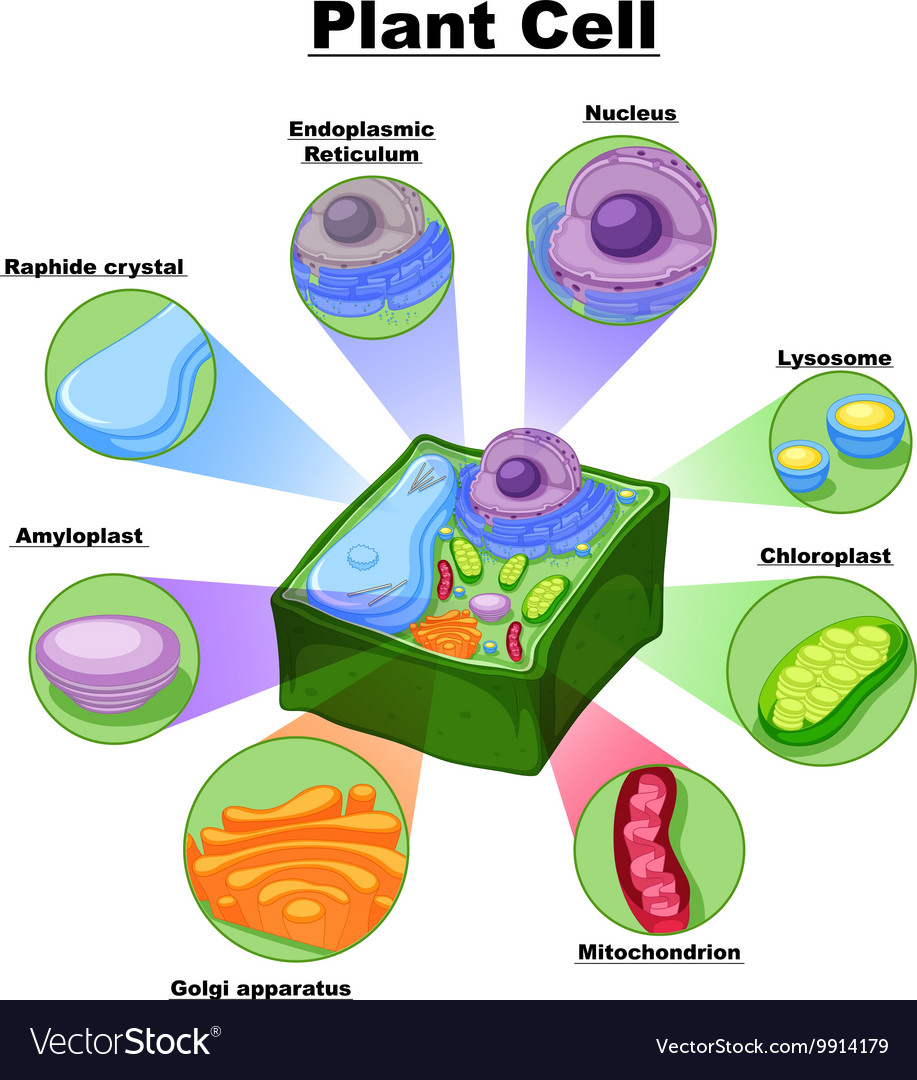 Plant Cell Diagram Diagram Showing Parts Of Plant Cell