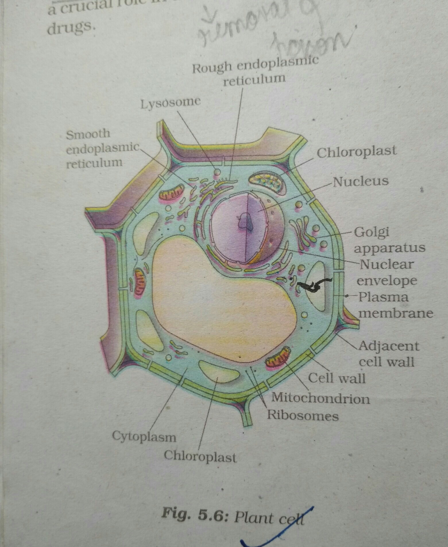 Plant Cell Diagram May U Please Help Me In Drawing The Diagram Of Plant Cell Hand
