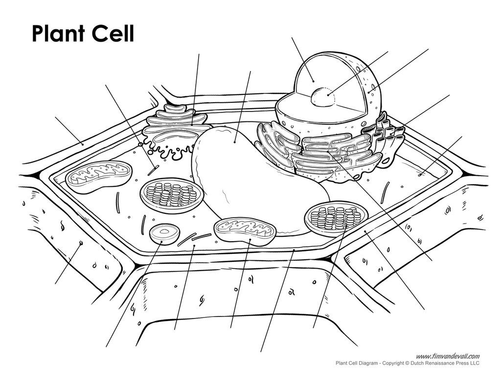 Plant Cell Diagram Plant Cell Diagram Diagram Quizlet