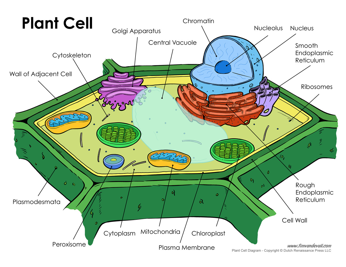 Plant Cell Diagram Printable Plant Cell Diagram Labeled Unlabeled And Blank