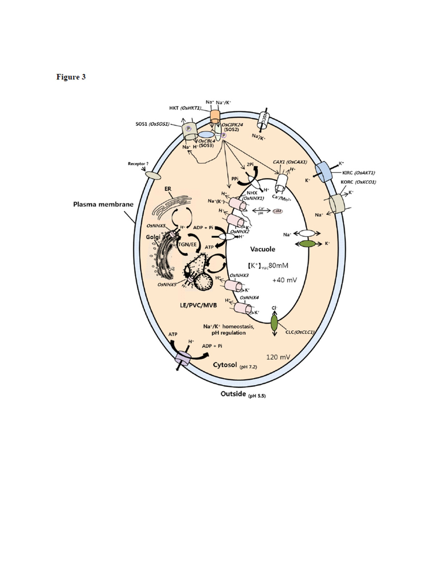 Plant Cell Diagram Schematic Diagram Of A Plant Cell Showing Regulation Of Ion