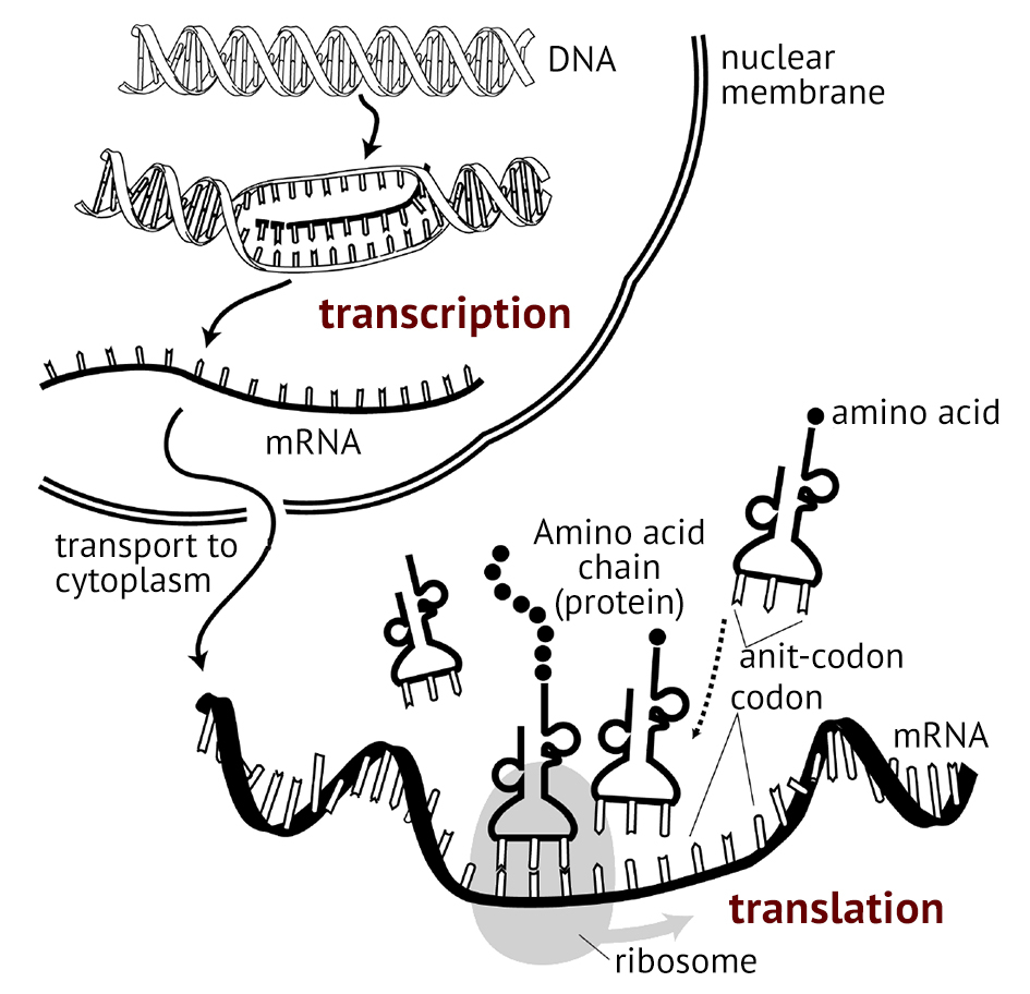 Protein Synthesis Diagram 21 Essential Ideas 217 Dna Replication Transcription And