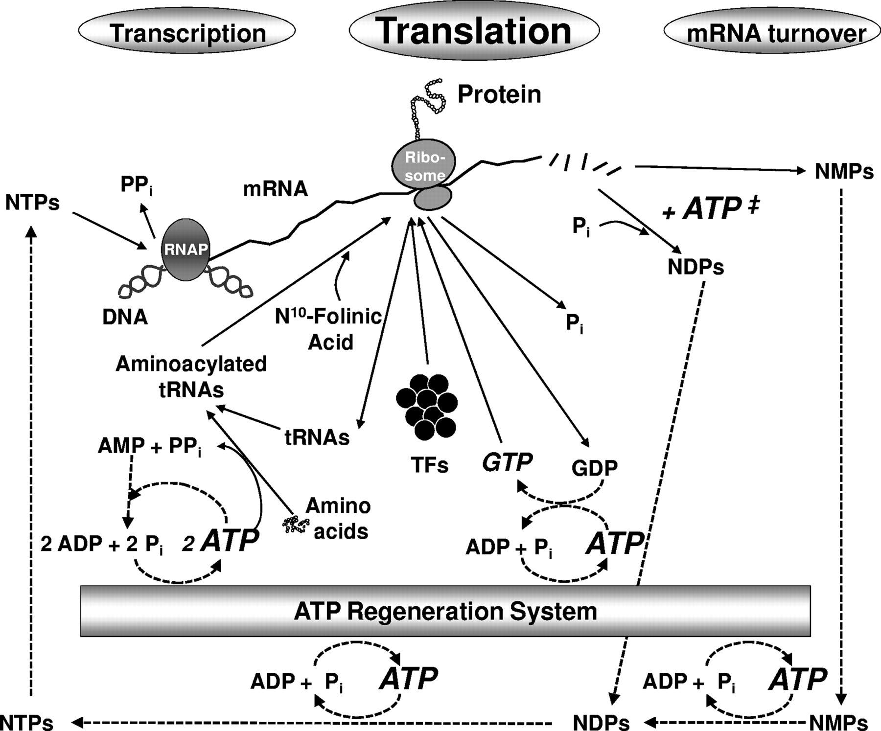 Protein Synthesis Diagram Continued Protein Synthesis At Low Atp And Gtp Enables Cell