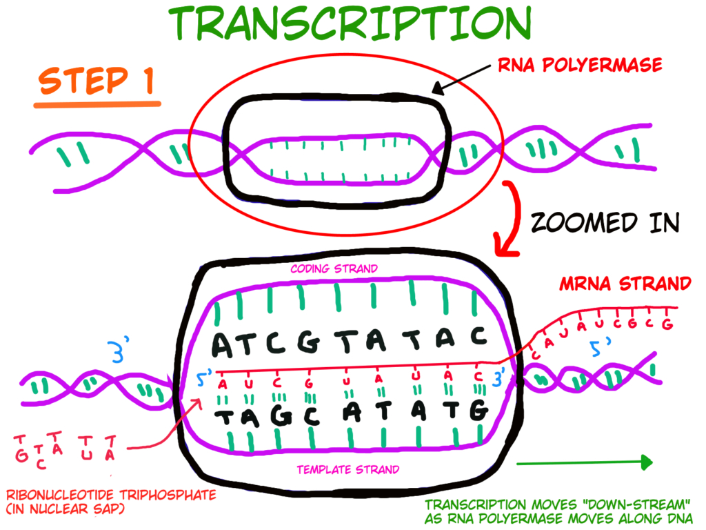 Protein Synthesis Diagram Hsc Biology Syllabus Notes Module 5 Dna And Polypeptide Synthesis