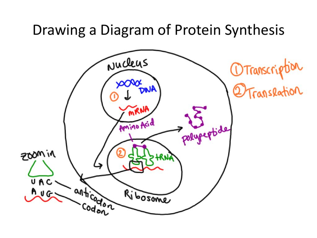 Protein Synthesis Diagram Protein Synthesis Making Those Proteins Ppt Download