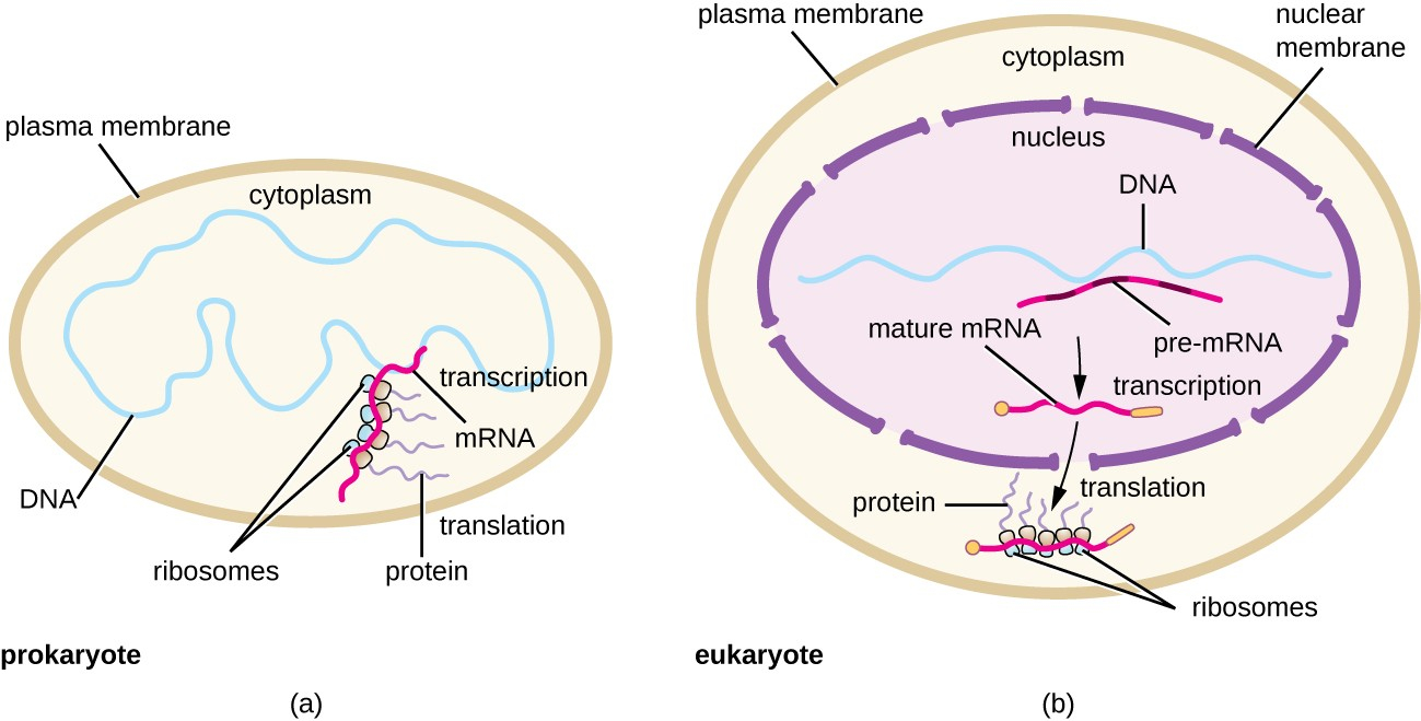 Protein Synthesis Diagram Protein Synthesis Translation Microbiology