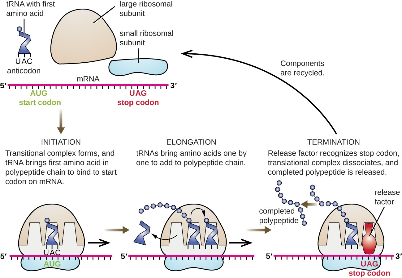 Protein Synthesis Diagram - exatin.info