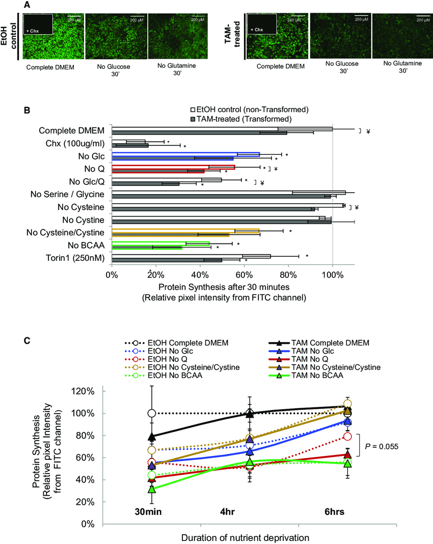 Protein Synthesis Diagram Quantification Of Protein Synthesis In Response To Metabolic