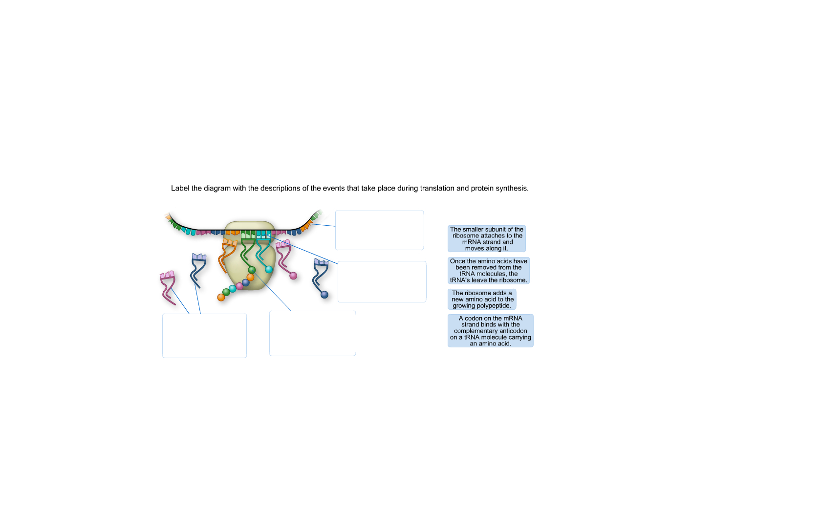 Protein Synthesis Diagram Solved Label The Diagram With The Descriptions Of The Eve