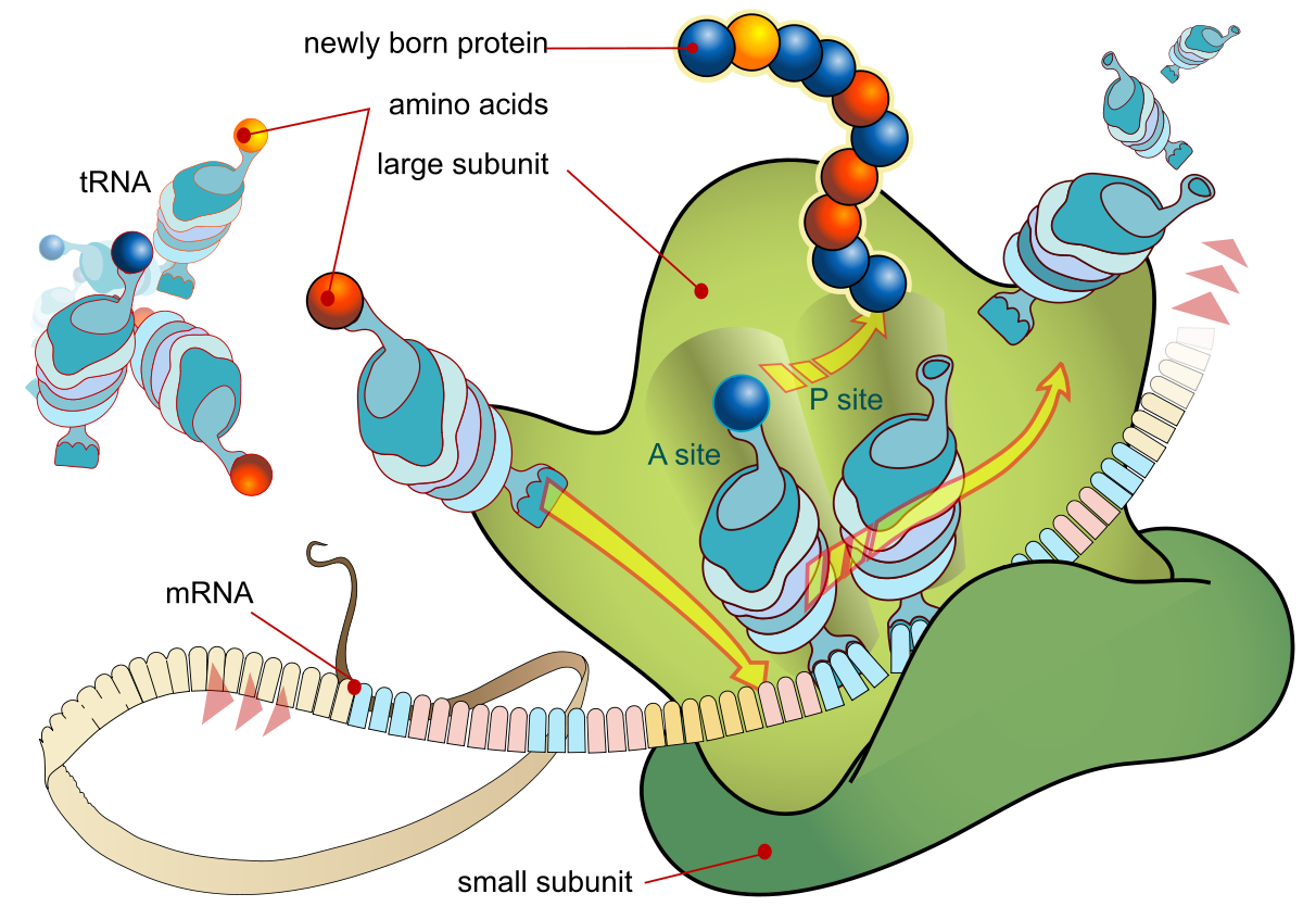 Protein Synthesis Diagram Translation Biology Wikipedia