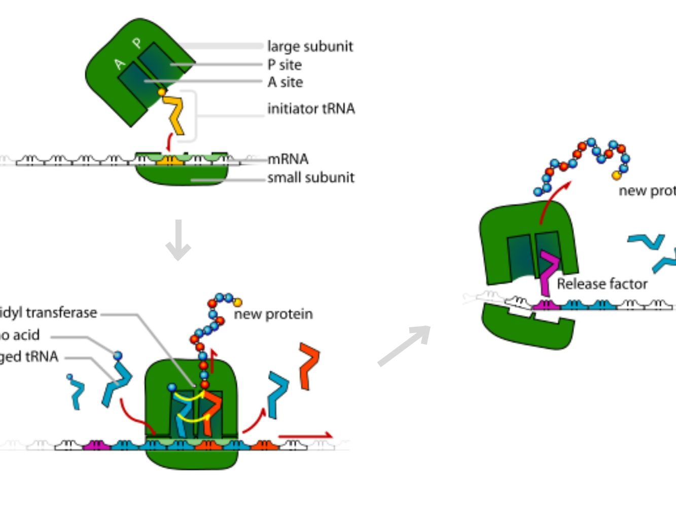 Protein Synthesis Diagram Translation Making Protein Synthesis Possible