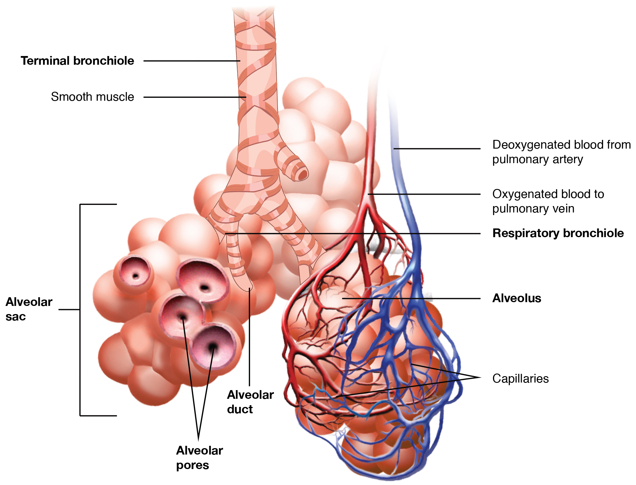 Respiratory System Diagram 221 Organs And Structures Of The Respiratory System Anatomy And
