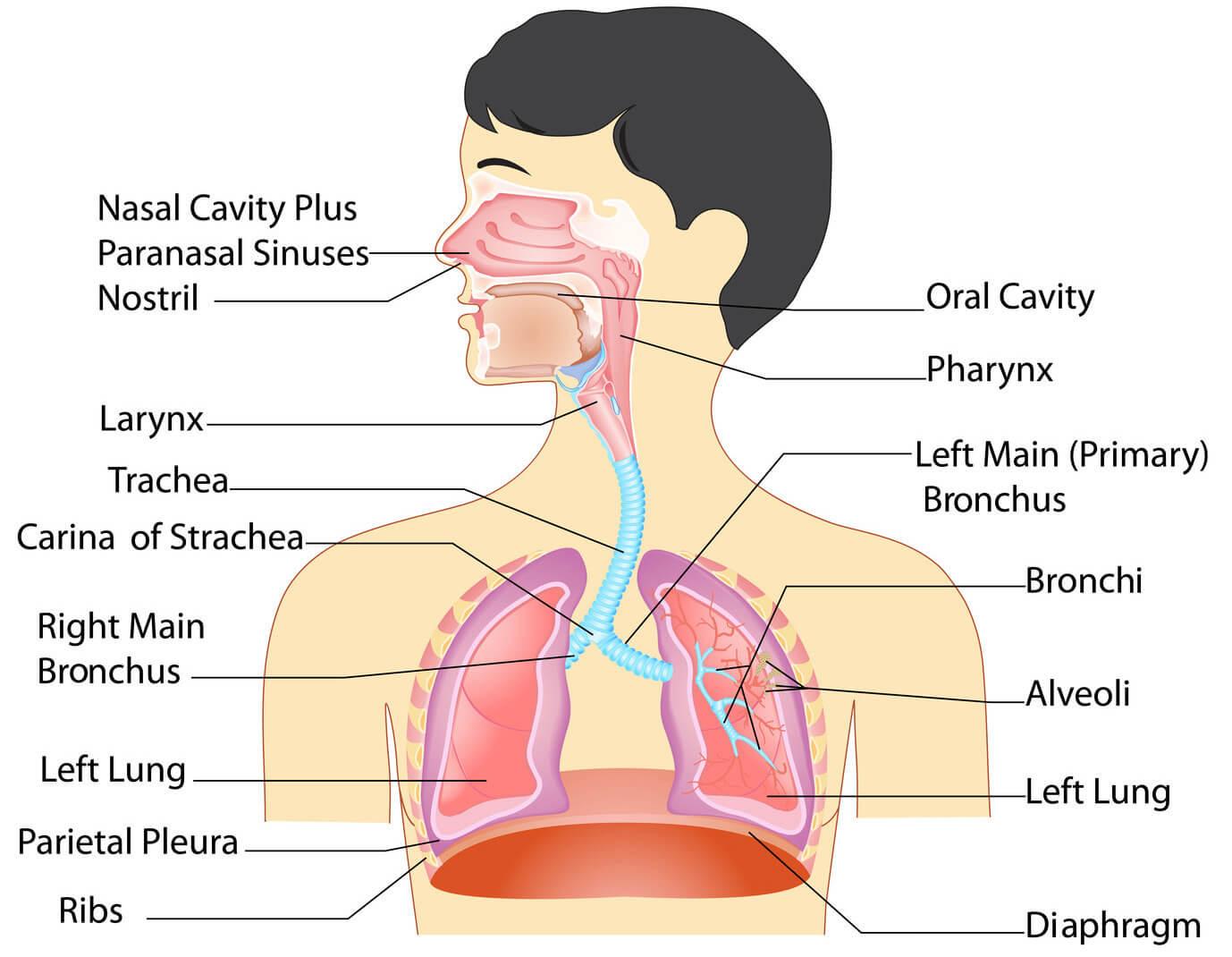 Respiratory System Diagram Anatomy Of The Respiratory System