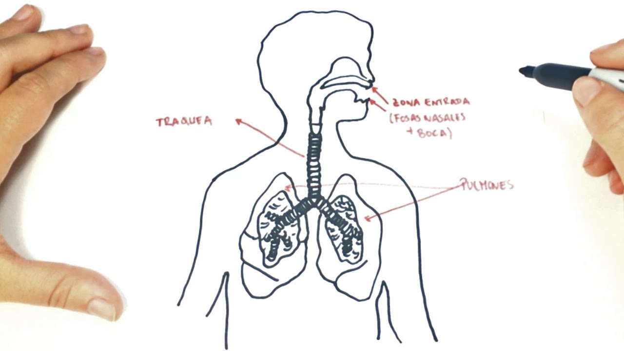 Respiratory System Diagram How To Draw A The Respiratory System Step Step