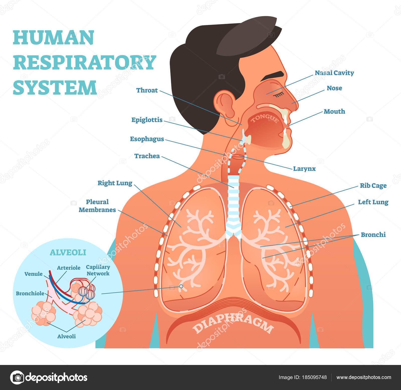 Respiratory System Diagram Human Respiratory System Anatomical Vector Illustration Medical