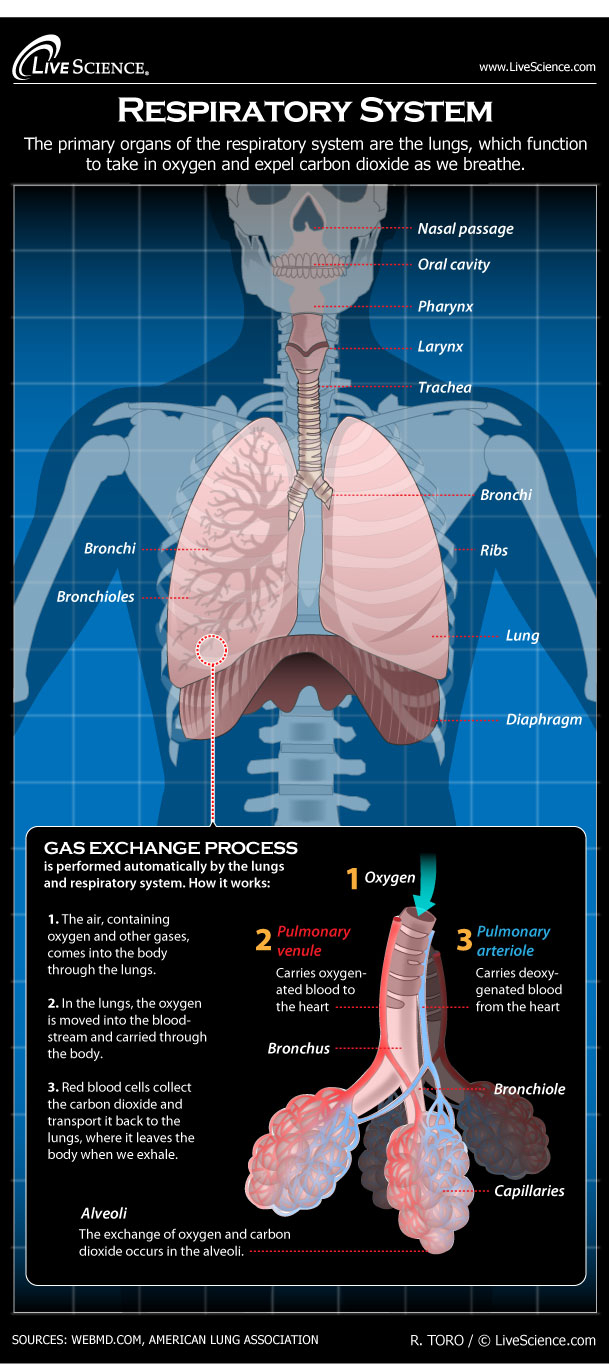 Respiratory System Diagram Human Respiratory System Diagram How It Works Live Science