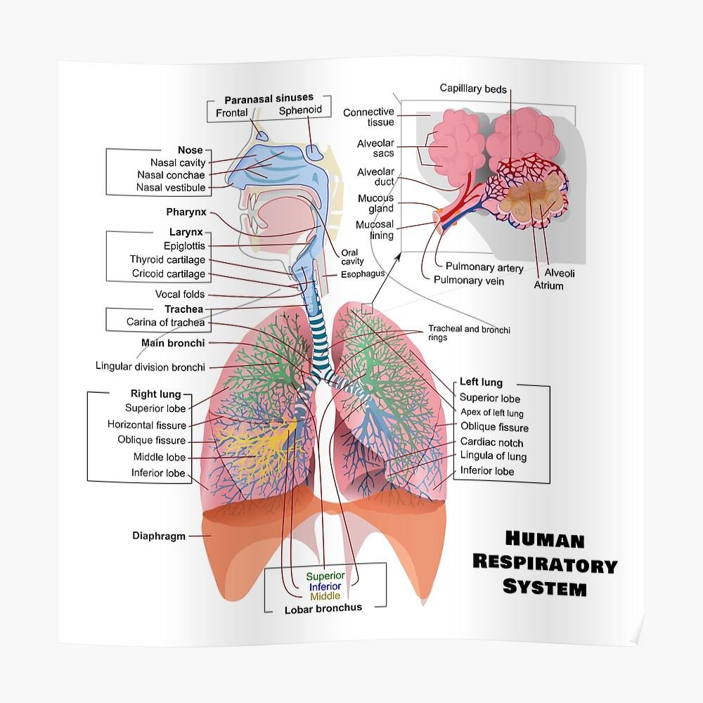 Respiratory System Diagram Human Respiratory System Diagram Poster