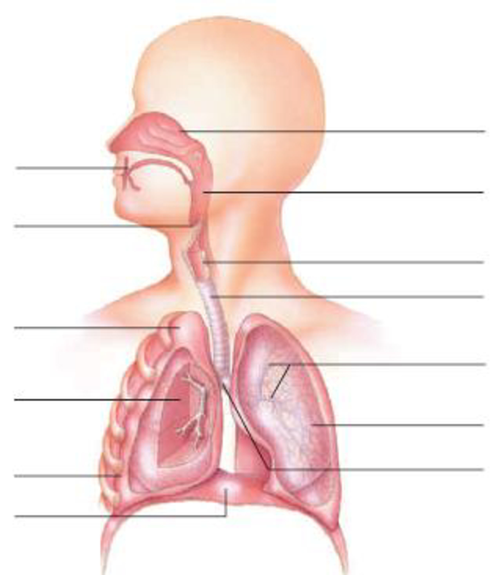 Respiratory System Diagram In The Diagram Below Label The Parts Of The Respiratory Bartle