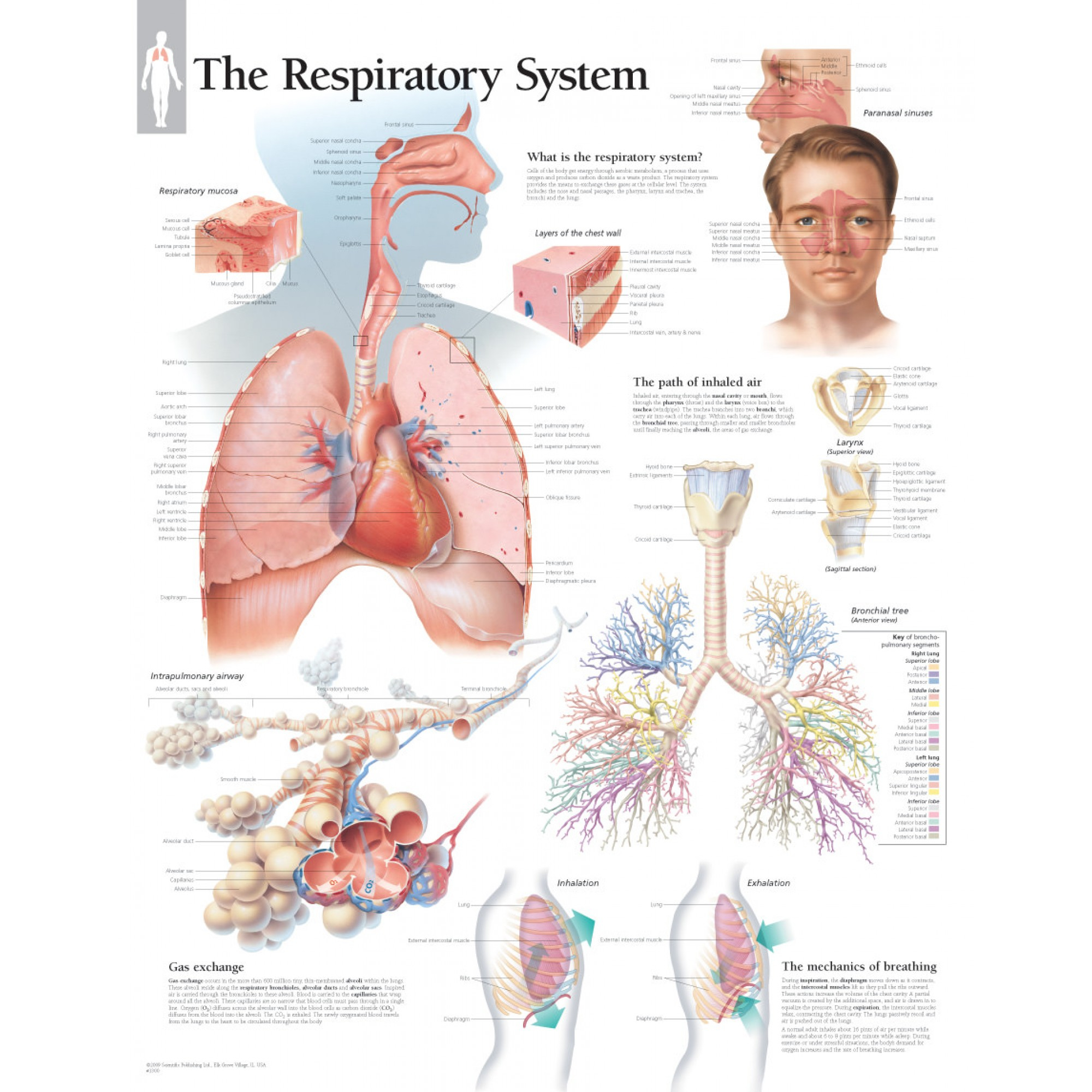 Respiratory System Diagram Respiratory System Chart