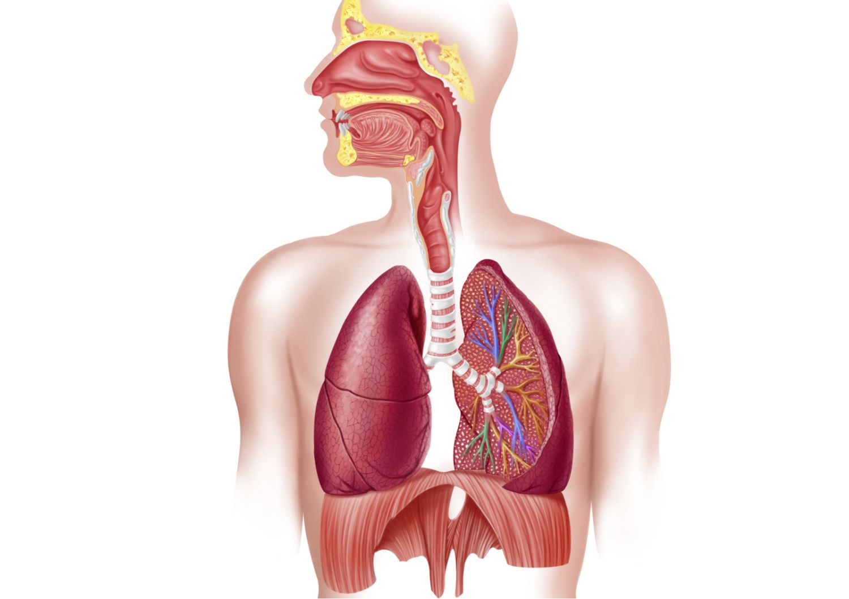 Respiratory System Diagram Respiratory System How We Breathe