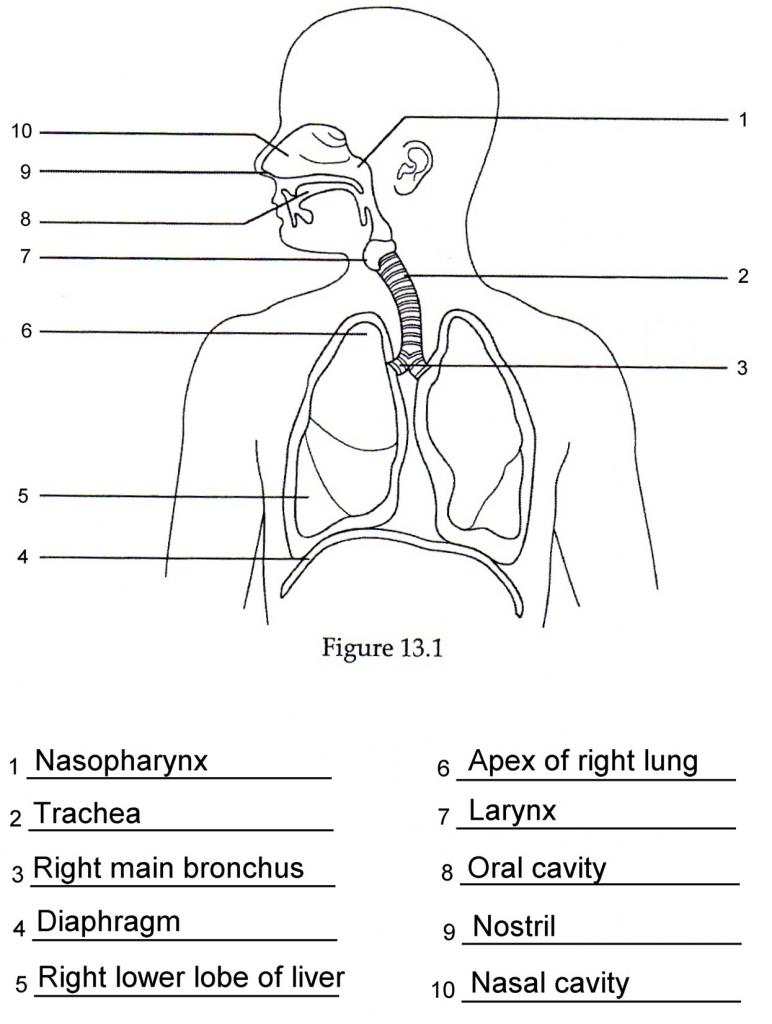 Respiratory System Diagram Respiratory System Simple Diagram