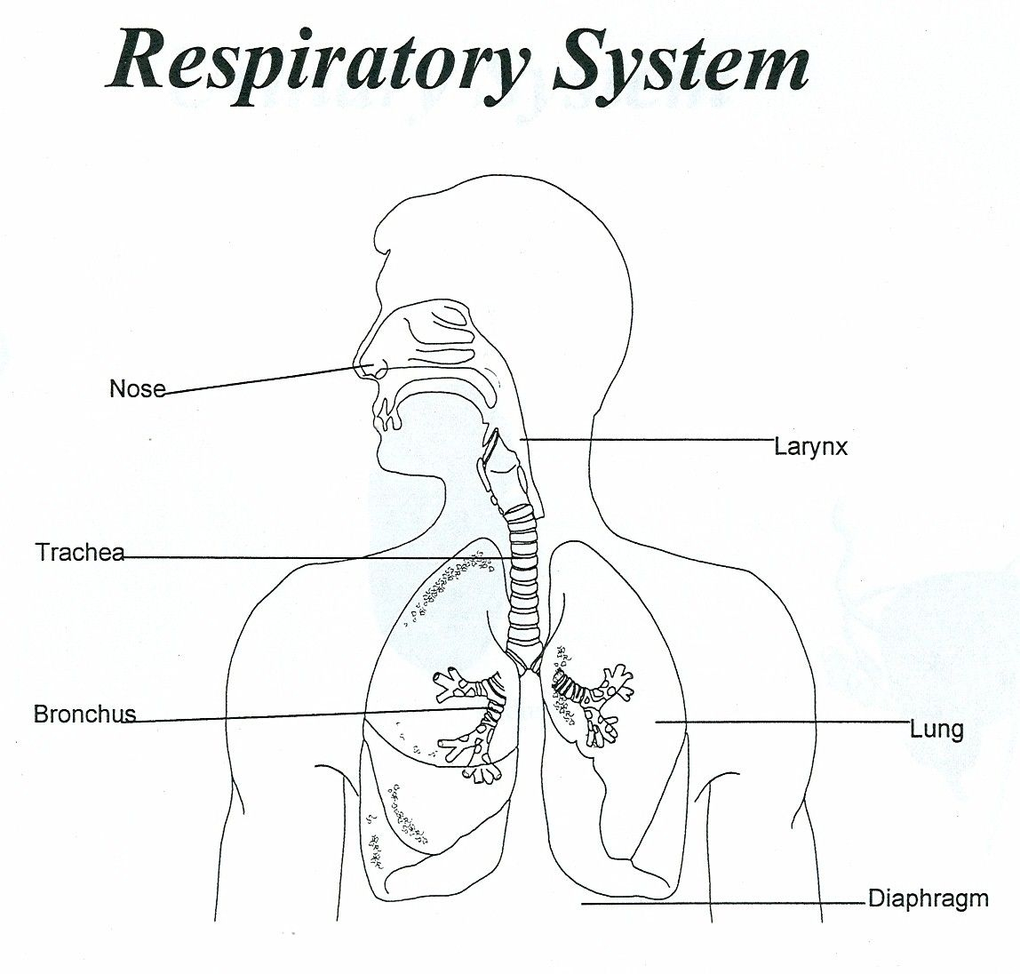 Respiratory System Diagram Respiratory System Unlabeled Human Anatomy Diagram Coloring Home
