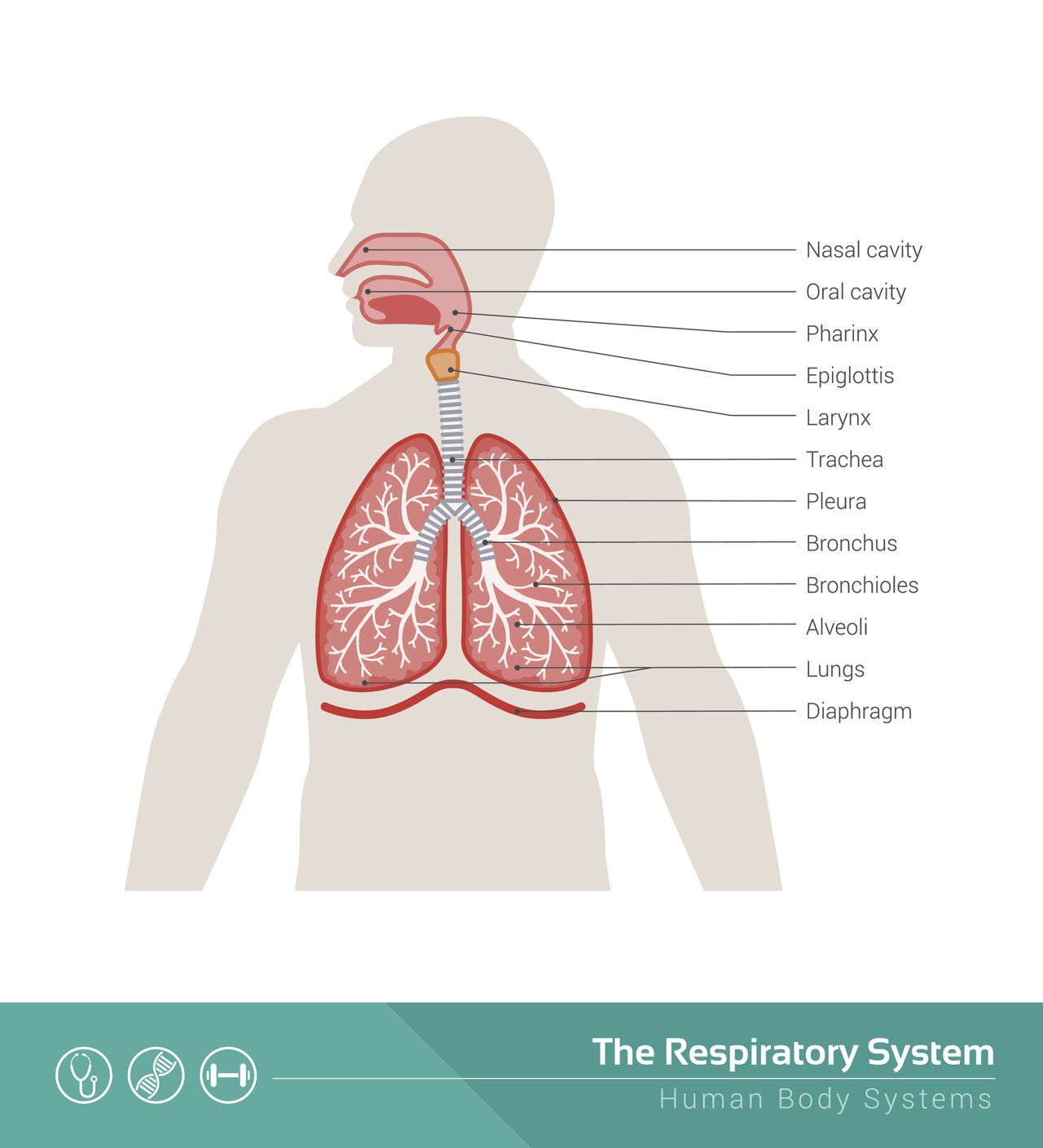 Respiratory System Diagram Structure Of The Human Respiratory System Explicated With Diagrams