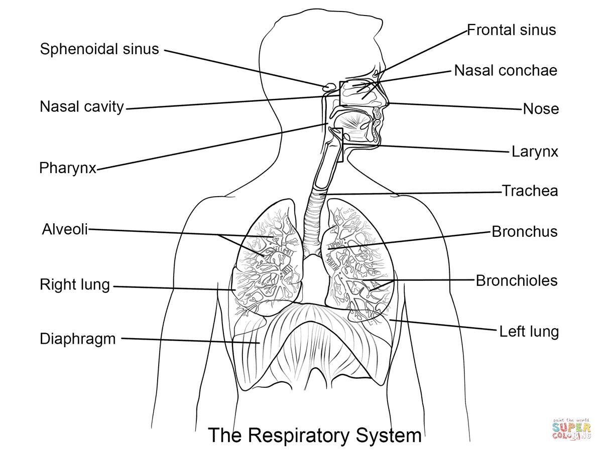 Respiratory System Diagram The Respiratory System Lesson 0393 Tqa Explorer