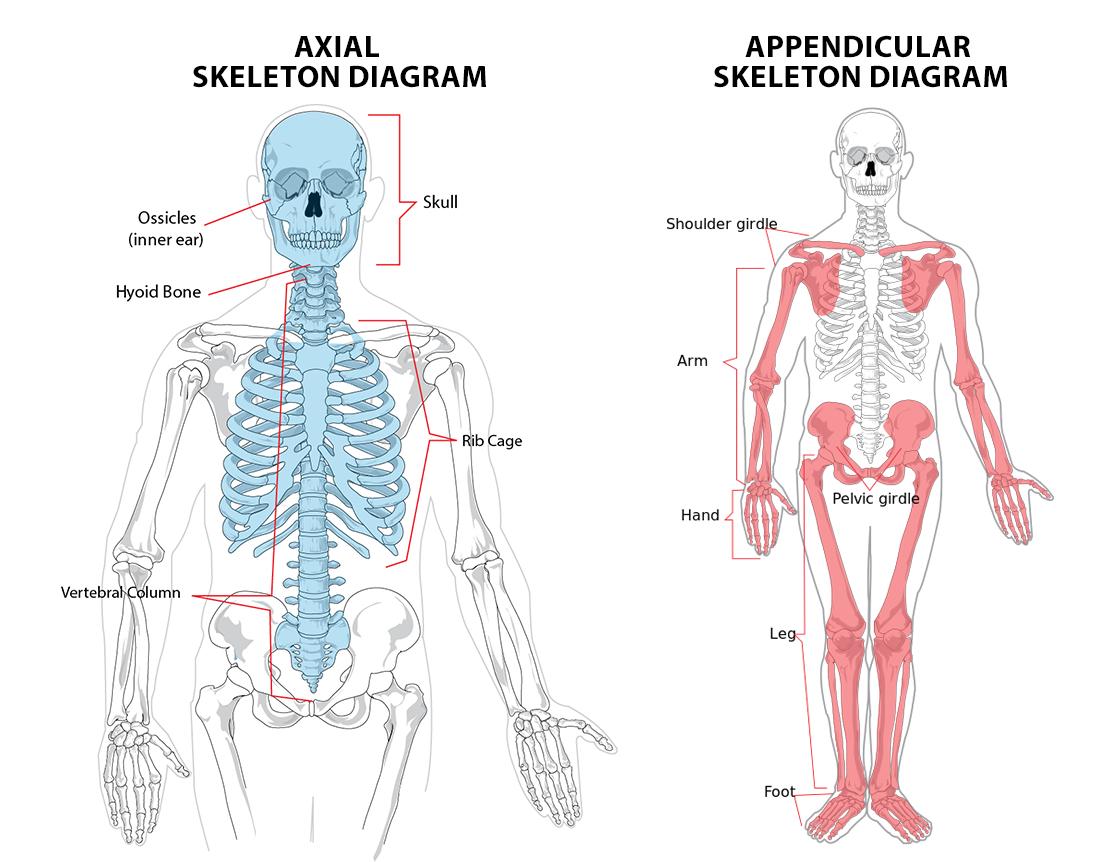 Skeletal System Diagram 11 The Skeletal System Ib Sehs Notes