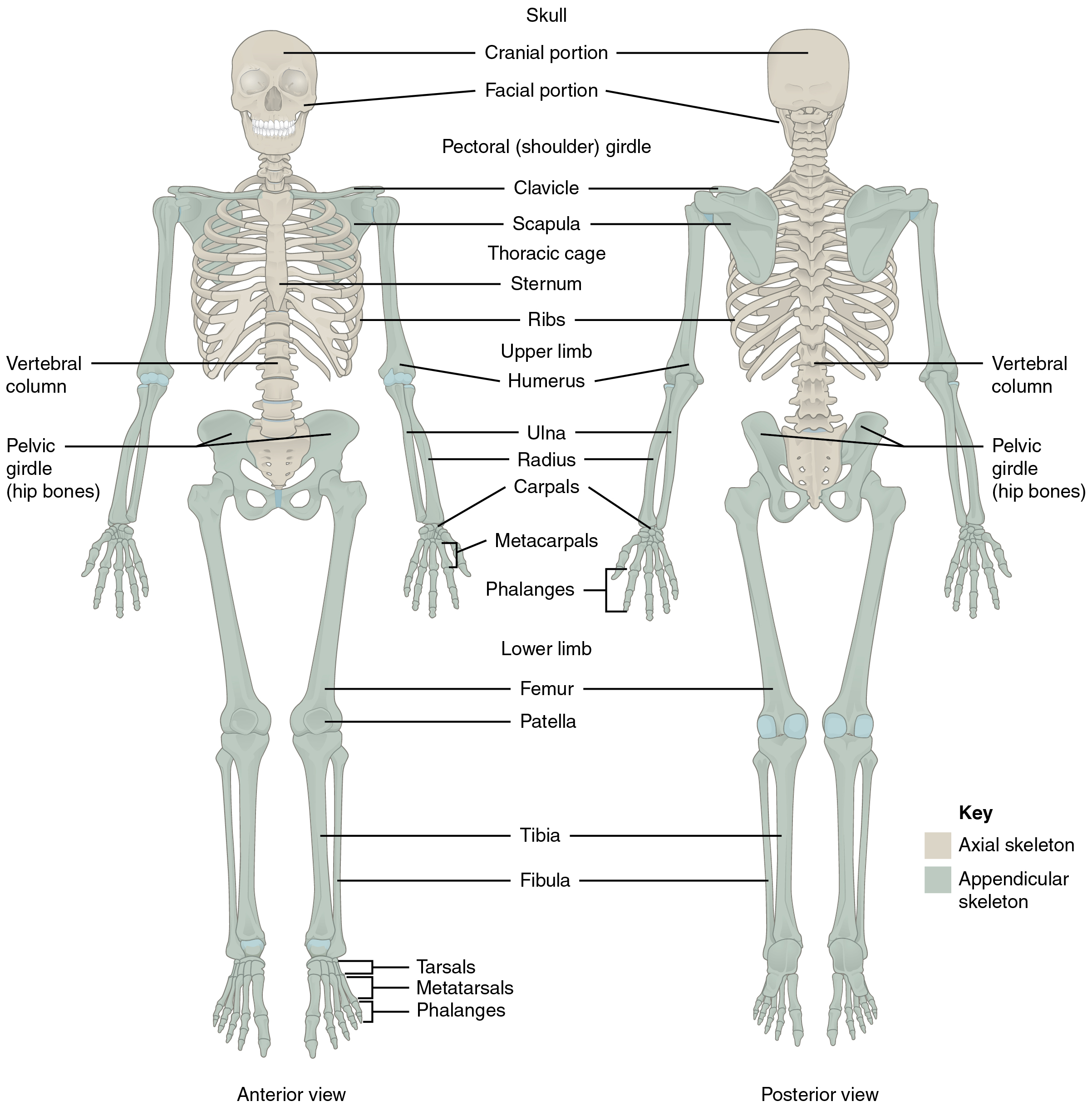 Skeletal System Diagram 71 Divisions Of The Skeletal System Anatomy And Physiology