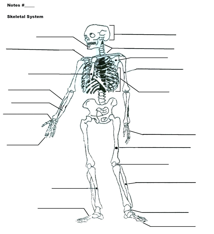 Skeletal System Diagram Blank Skeletal System Diagram World Of Reference