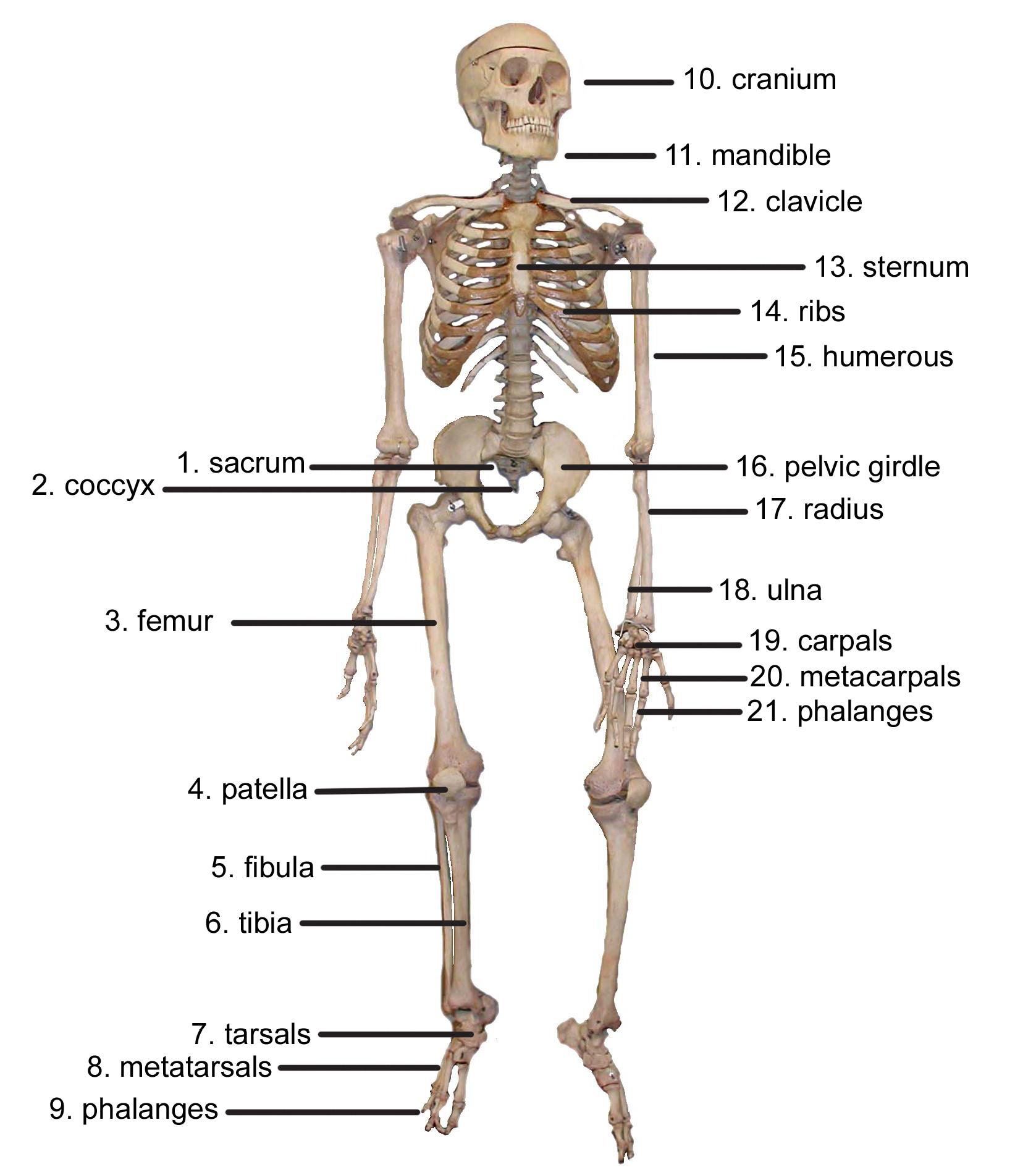 Skeletal System Diagram Cybersurgeons