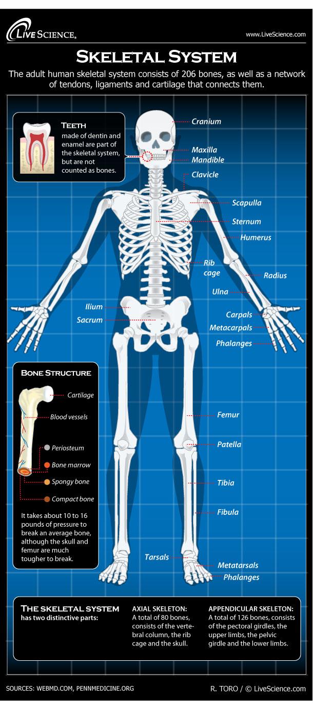 Skeletal System Diagram Diagram Of The Human Skeletal System Infographic Live Science