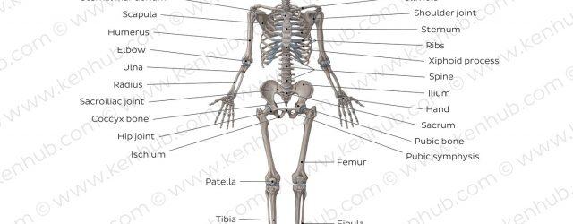 Skeletal System Diagram Diagram Pictures Skeletal System Anatomy Kenhub