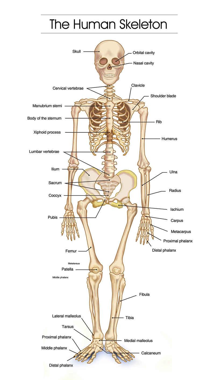 Skeletal System Diagram Human Skeletal System Diagram Health Images Reference