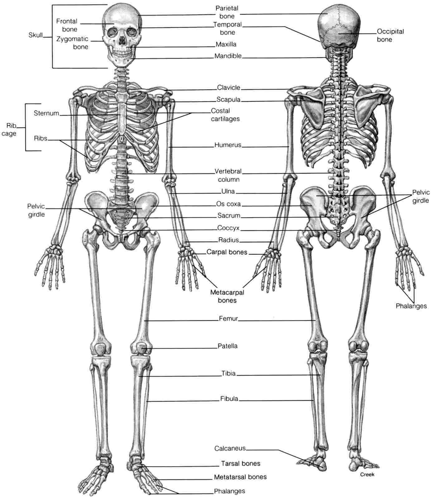 Skeletal System Diagram Human Skeletal System Drawing At Paintingvalley Explore