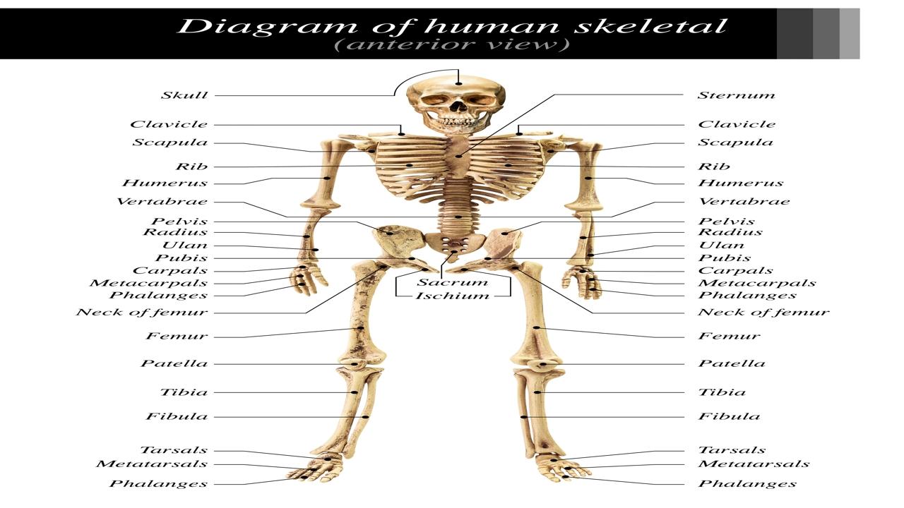 Skeletal System Diagram Labeled Skeletal System Diagram