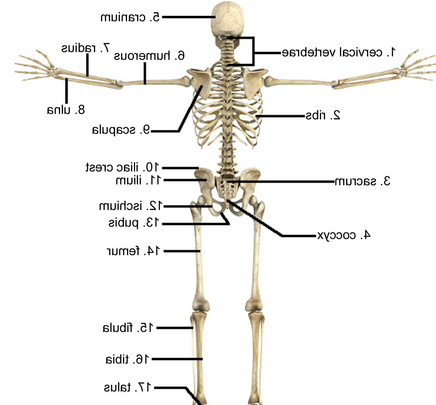 Skeletal System Diagram Perfect Skeletal System Pictures Labeled Quality Pictures On